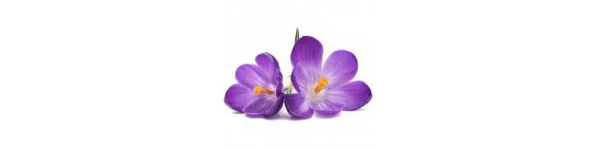 Fleur de violette